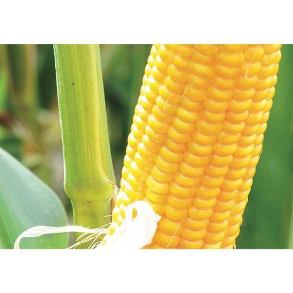 Гарни КС (Семена Кукурузы)