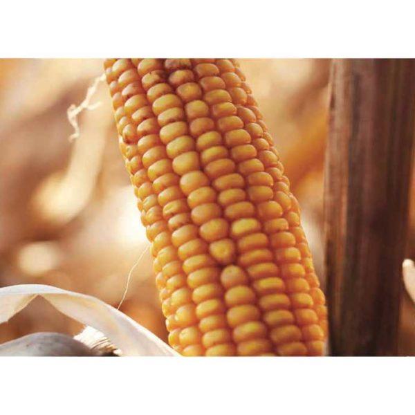 Исбери (Семена кукурузы)