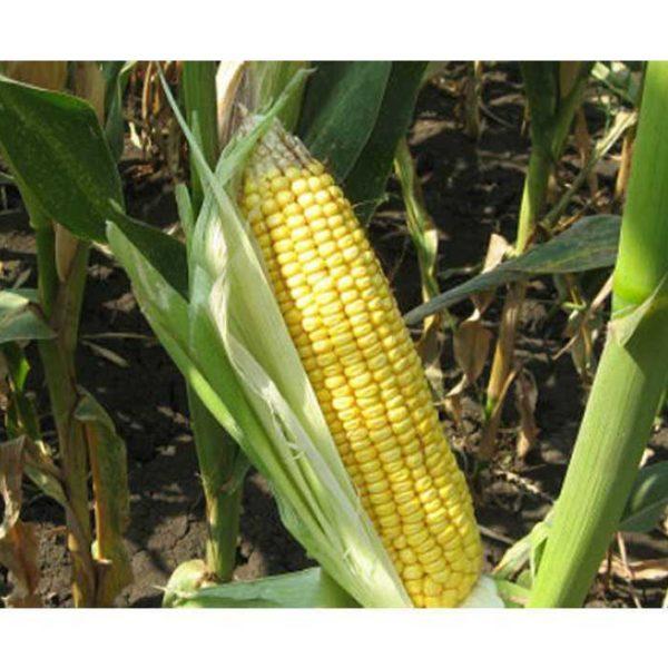 Краснодарский 194 МВ (Семена кукурузы)