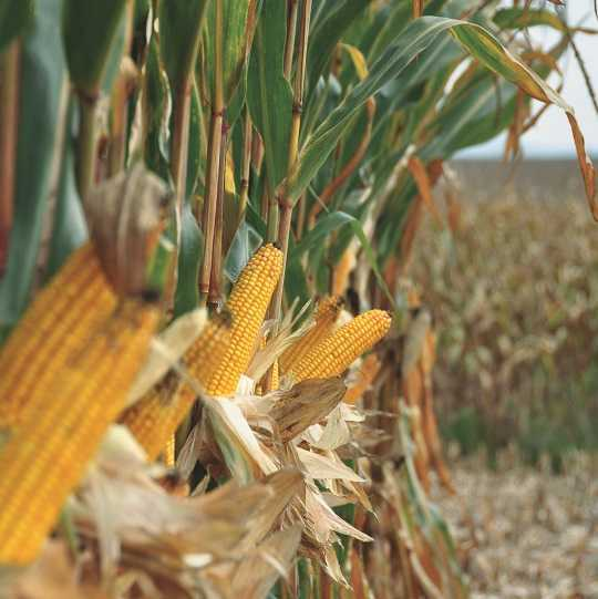 Мальтон (Семена кукурузы)
