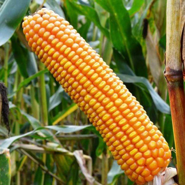 Рогозо (Семена кукурузы)