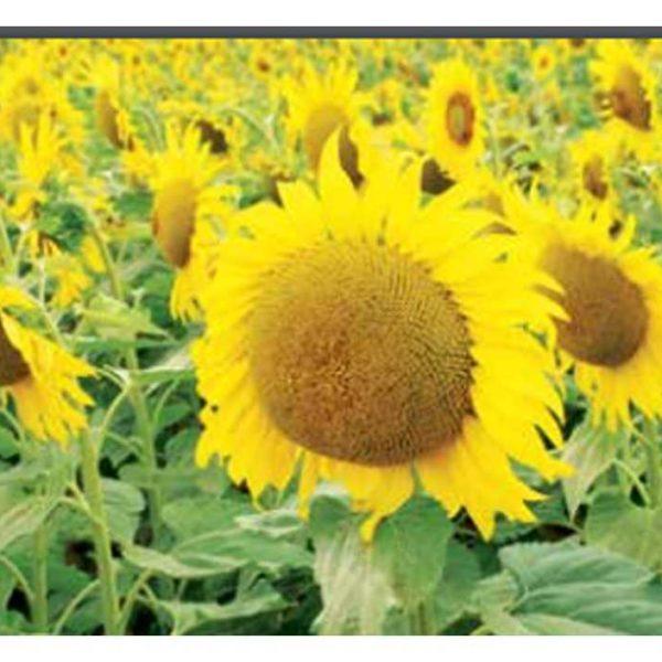 Соларни КС (Семена подсолнечника)