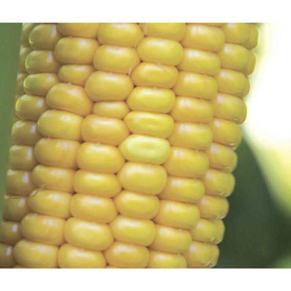 Спайси КС (Семена Кукурузы)