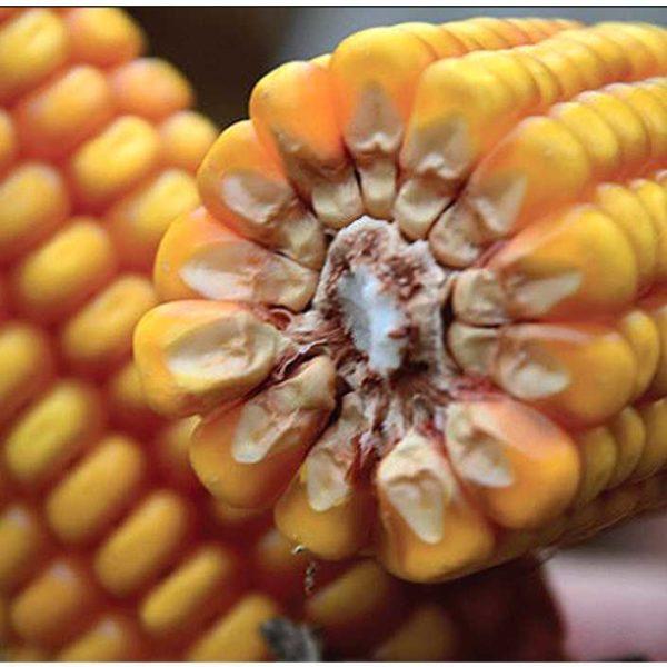 ЕС Реген (Семена Кукурузы)
