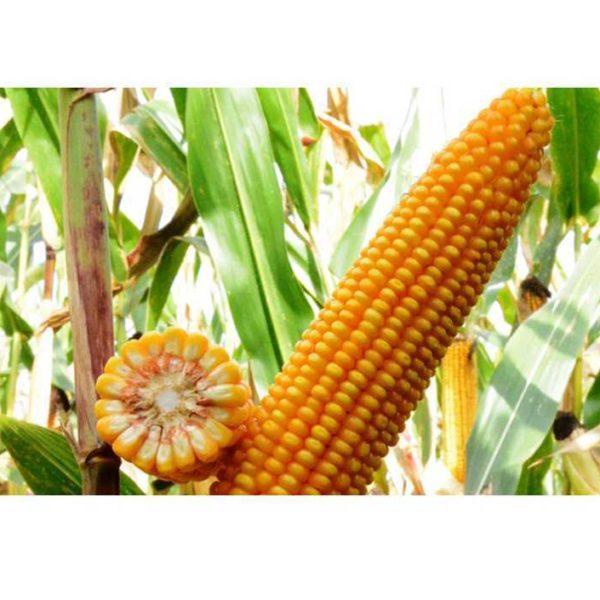 ЕС Зизу (Семена Кукурузы)